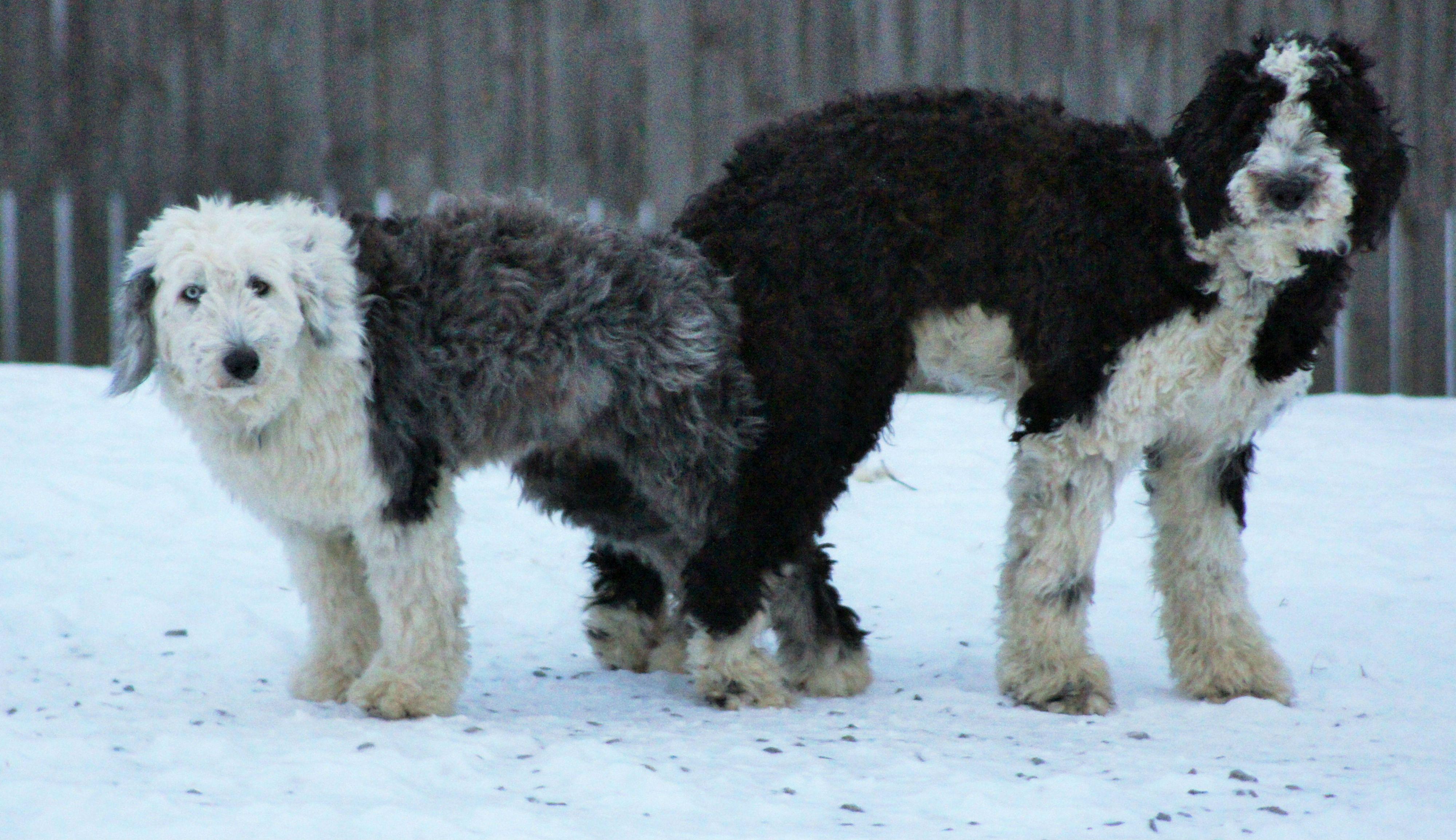 Simons Sheepadoodles Pittsburgh Pa Sheepadoodle Puppy