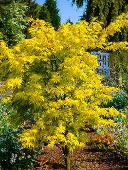 Japanese Maple Trees | Buy Japanese Maple Trees | The Tree Center #japanesemaple