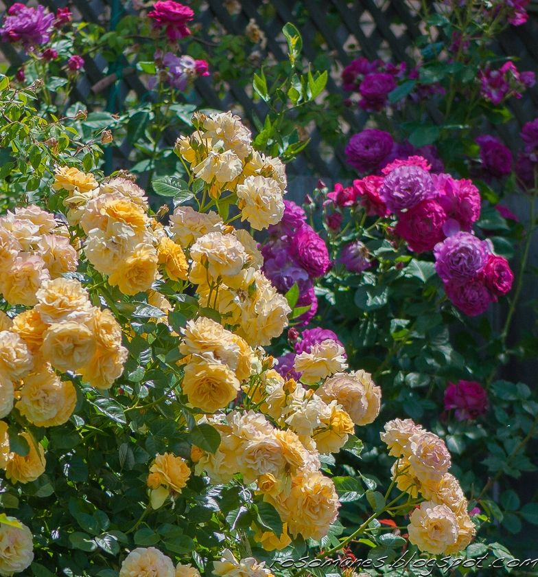 Roses - 'Julia Child' and 'Wild Blue Yonder'
