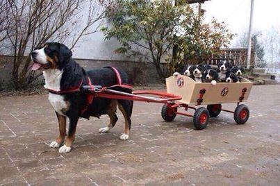 Bernese Mountain Dog Cart - Goldenacresdogs com