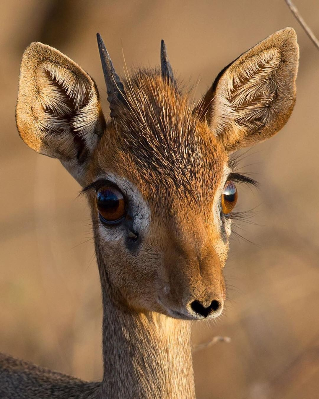 Earth official on instagram a dikdik male with a nose