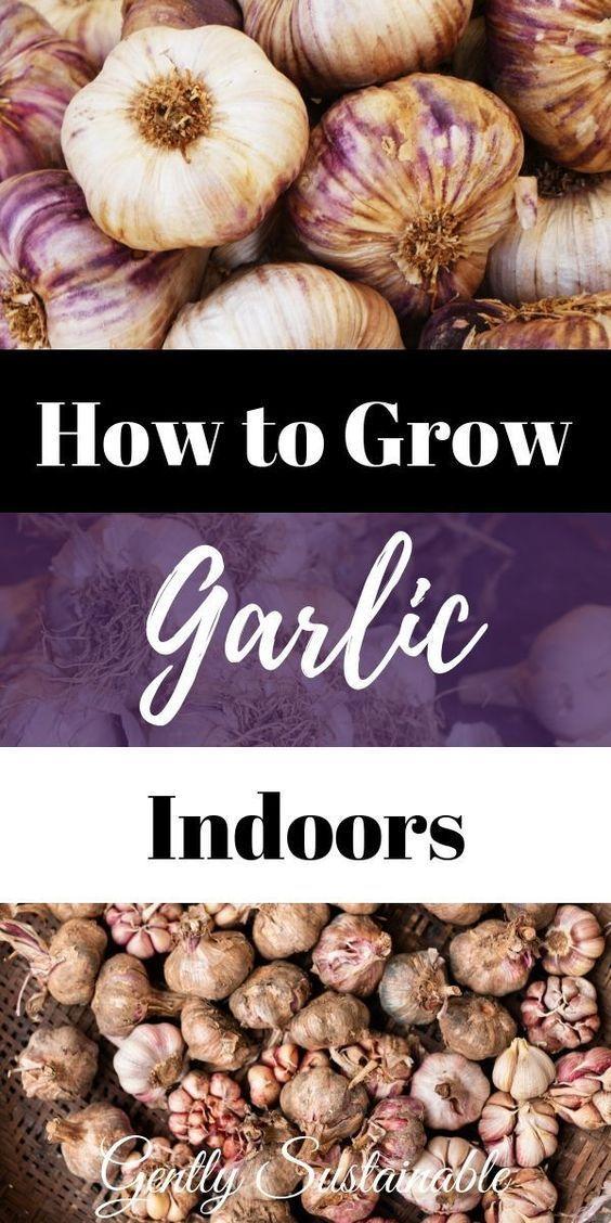 How To Grow Garlic Indoors Grow Garlic Indoors Growing 640 x 480