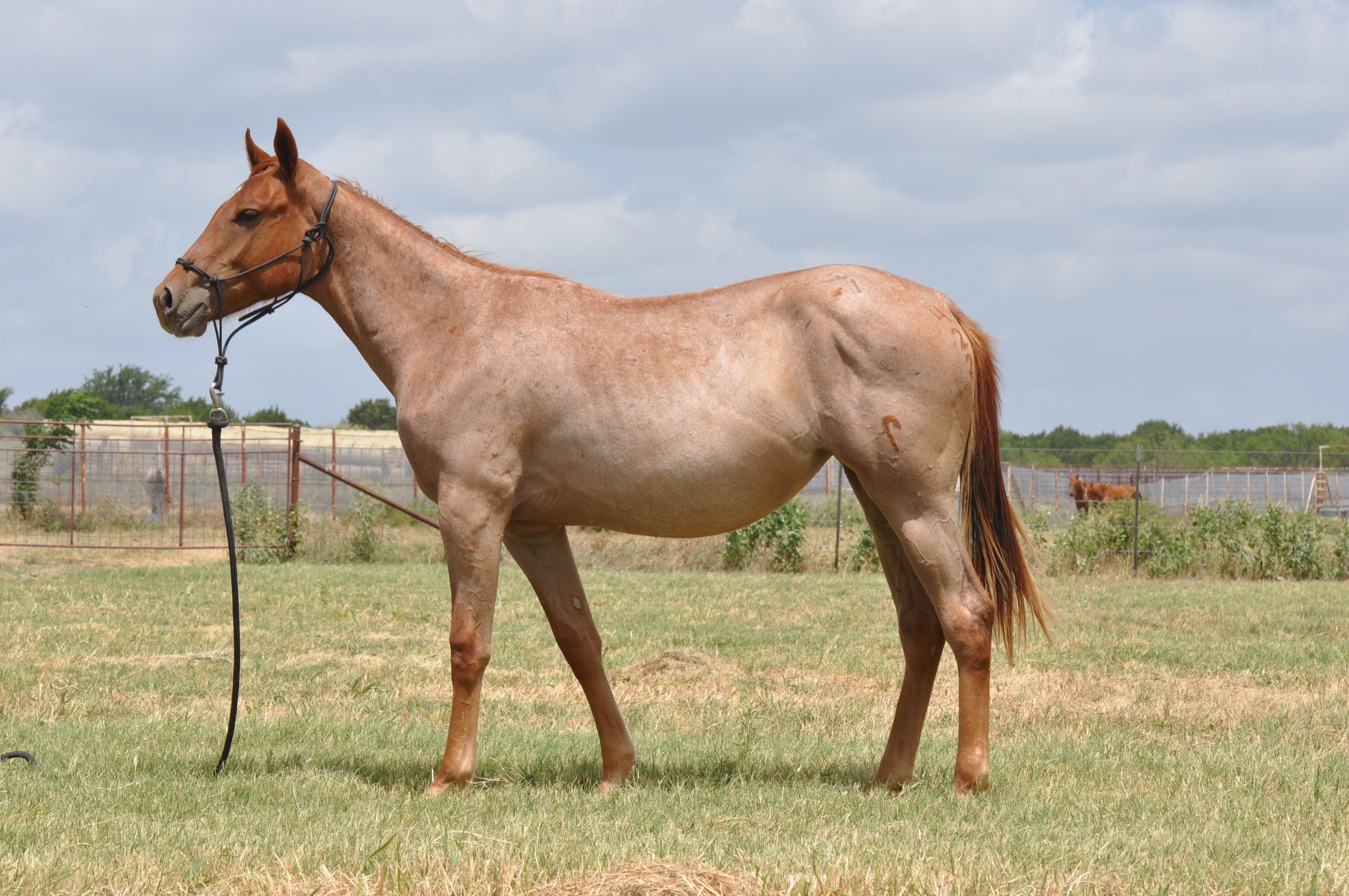 Lot 23 WWR Red Roan Angel The Wagon Wheel Ranch Ranch