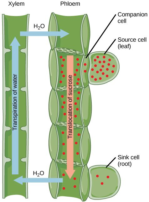 Translocation Moves Photosynthates Via The Phloem From Sources To Sinks Read More About Transportation Of Pho Biology Plants Science Biology Biology Resources