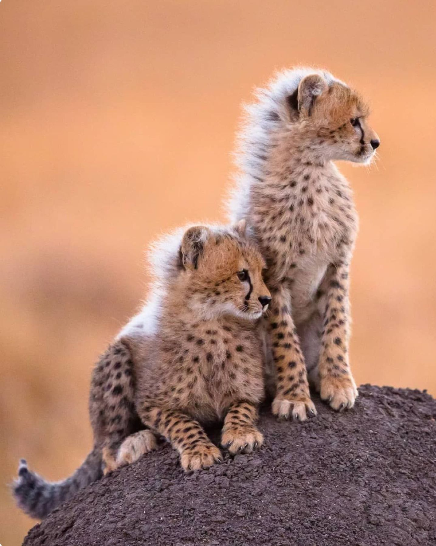Cute Cheetah Cubs Learn Early To Seek High Ground From Which To Survey Their Surroundings Animaux Animaux Sauvages Photo Animaux