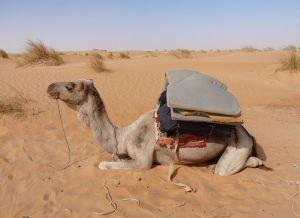 800px-Adrar-Camel_(1)