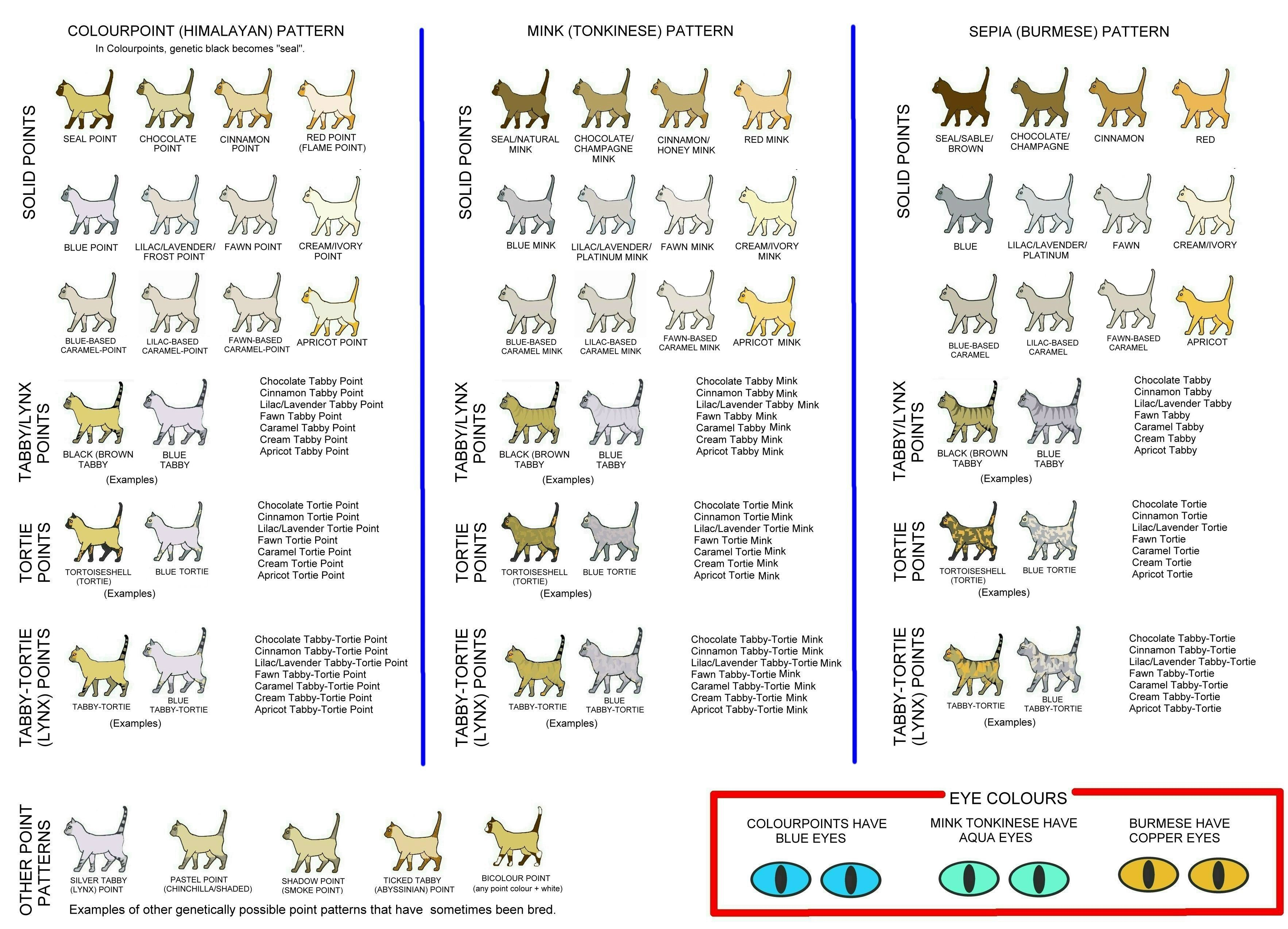 tonkinese color coat pattern eye color image