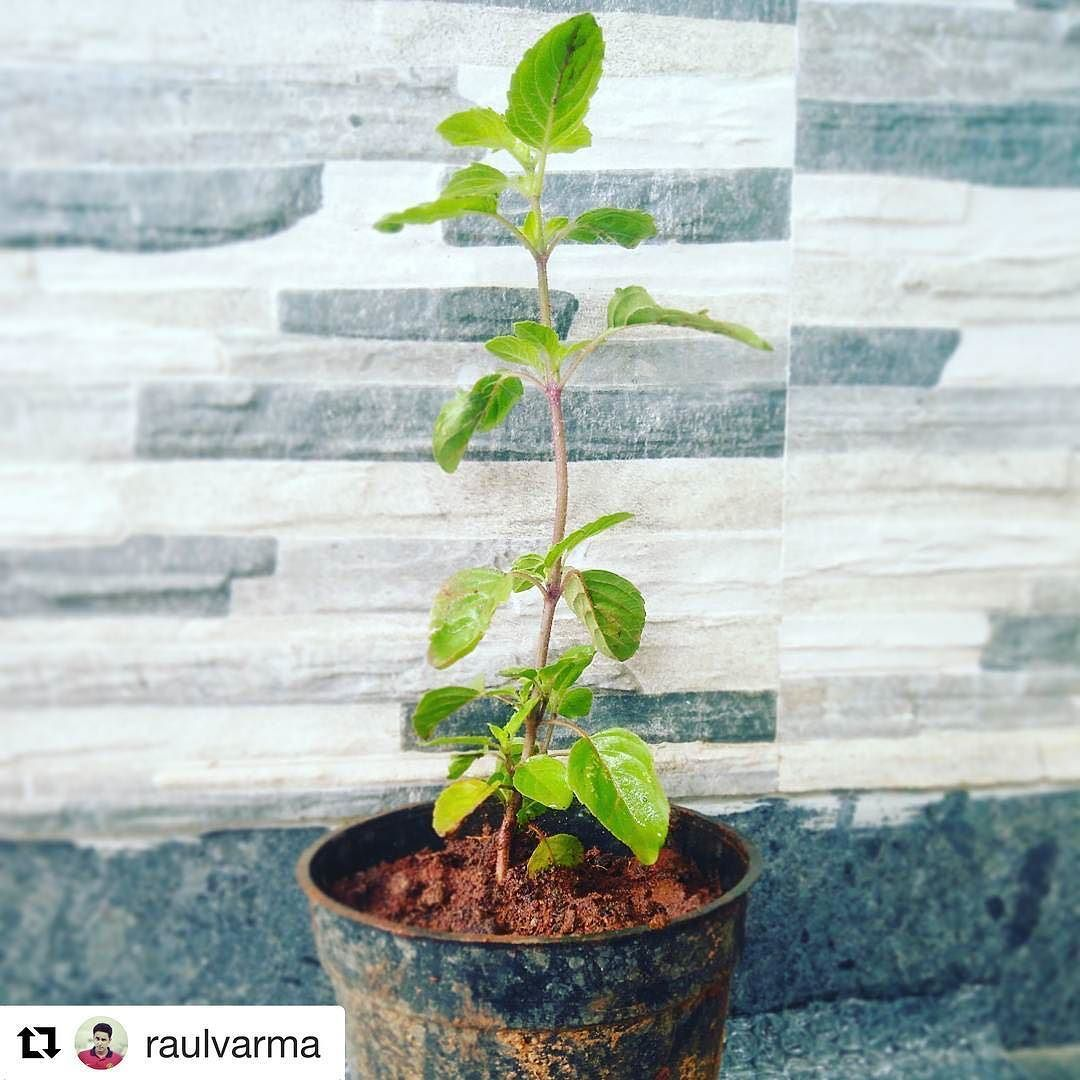 #Repost @raulvarma with @repostapp  Good food great service and a Tulsi sapling. Thumps up to Here 'n Now! . . . . . . #brunch #tulsi #gogreen #green #plant #instagreen #happy #joy #food #instafood