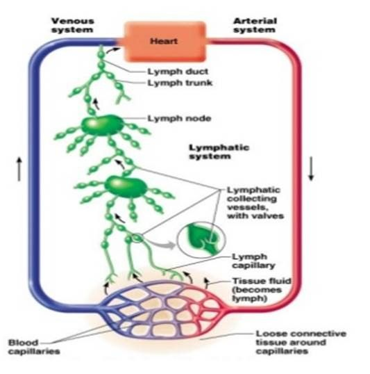 Lymphatic System Functions: Transport clean fluids back to the blood ...