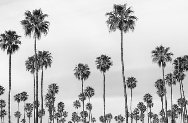 Black And White Palms By Stephanie Hogue In 2020 Tree Desktop Wallpaper Laptop Wallpaper Desktop Wallpapers Macbook Wallpaper