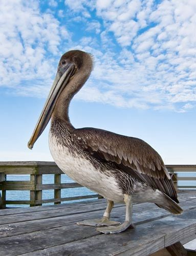 Brown Pelican Beautiful Birds Pet