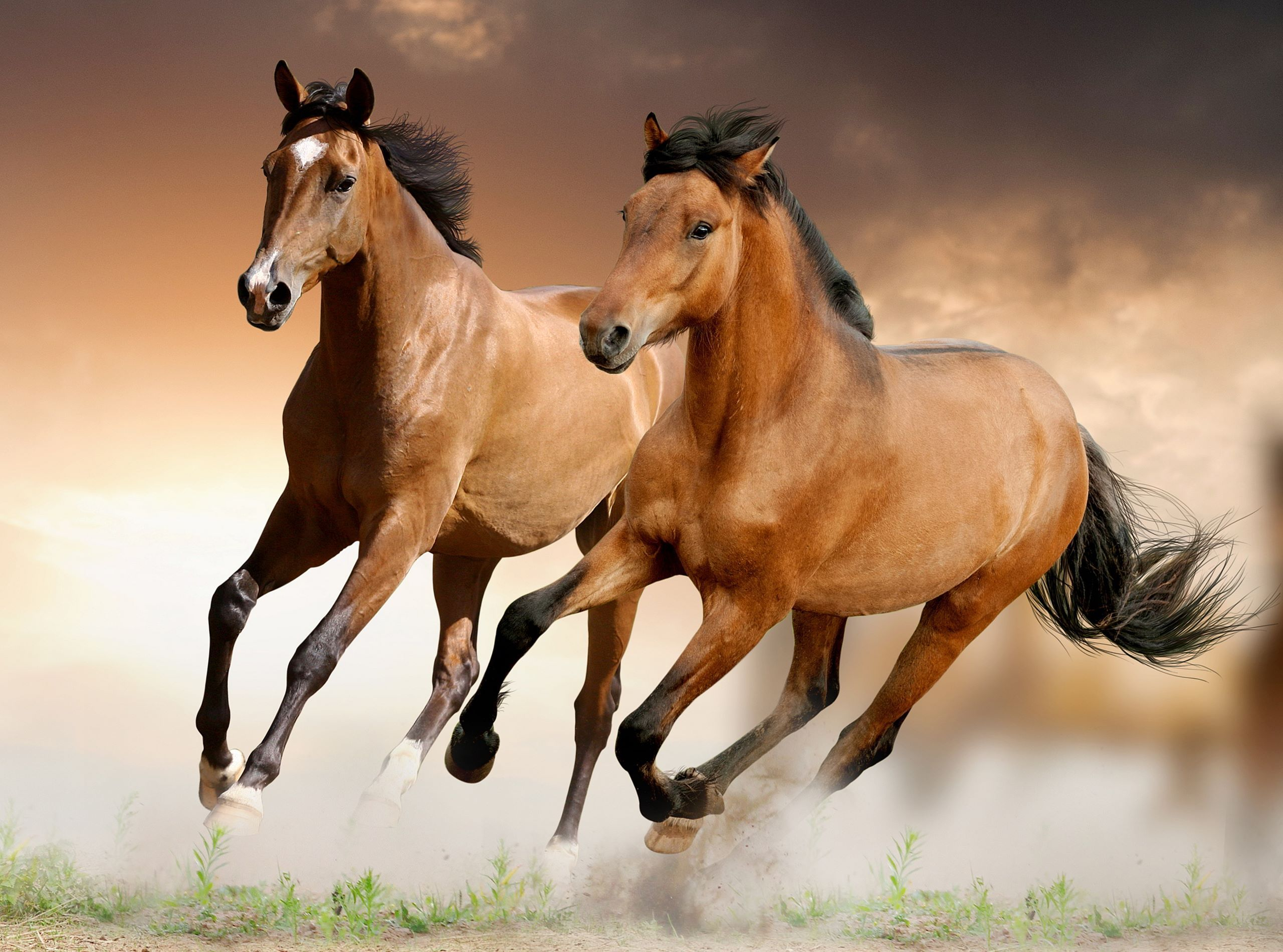 Brown Horses Running Wallpaper Horse Wallpaper Beautiful Horses Horse Pictures