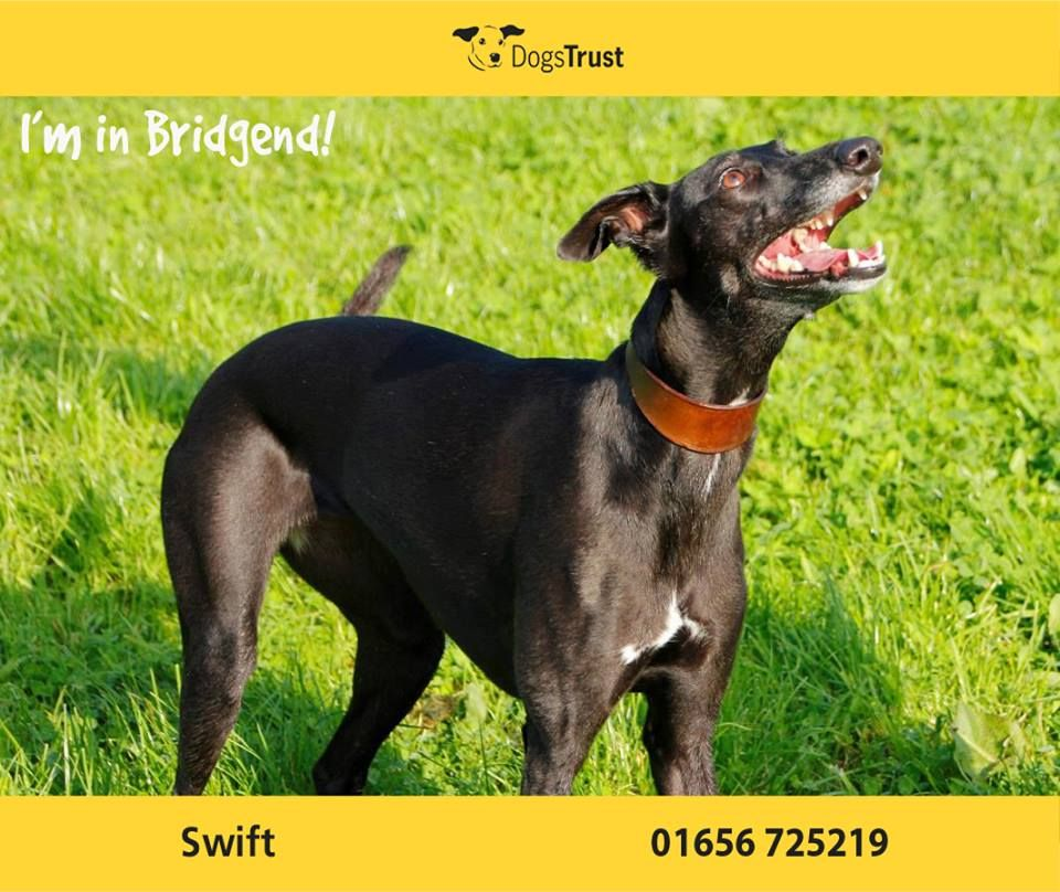 Swift At Dogs Trust Bridgend By Name And Nature She Is A 3 Year Old Whippet Cross She Loves To Run And Play She Loves The Compan Dogs Trust Dogs Dog Waiting