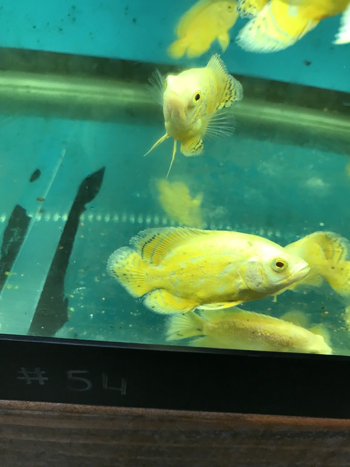 Lemon Oscar 2 5 In Length Live Tropical Fish Oscar Fish Fish Fish For Sale