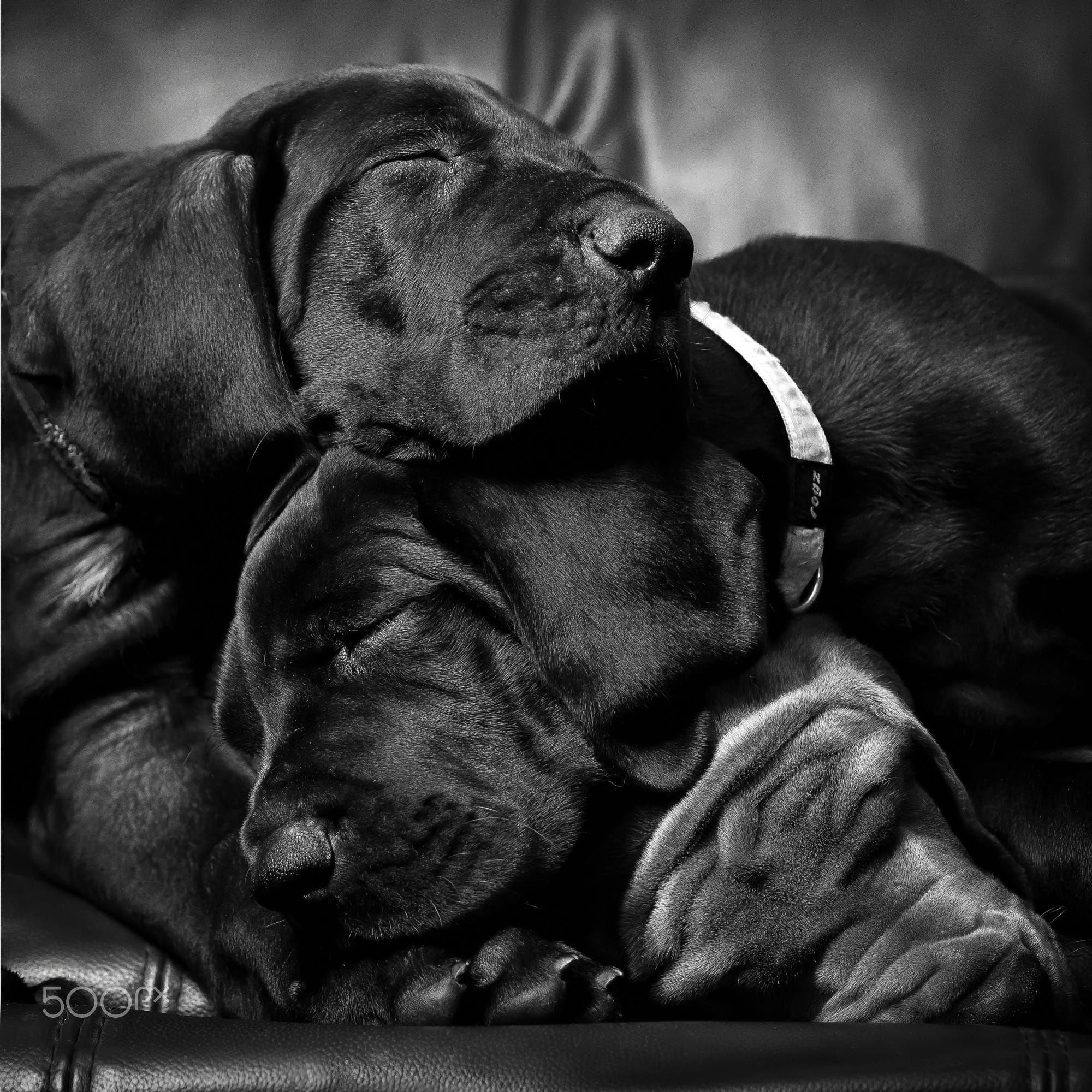 Great Dane Patient And Friendly With Images Dog Training