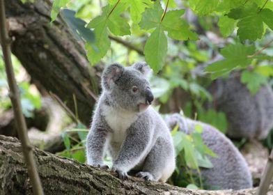 Metal Poster Koala In A Tree