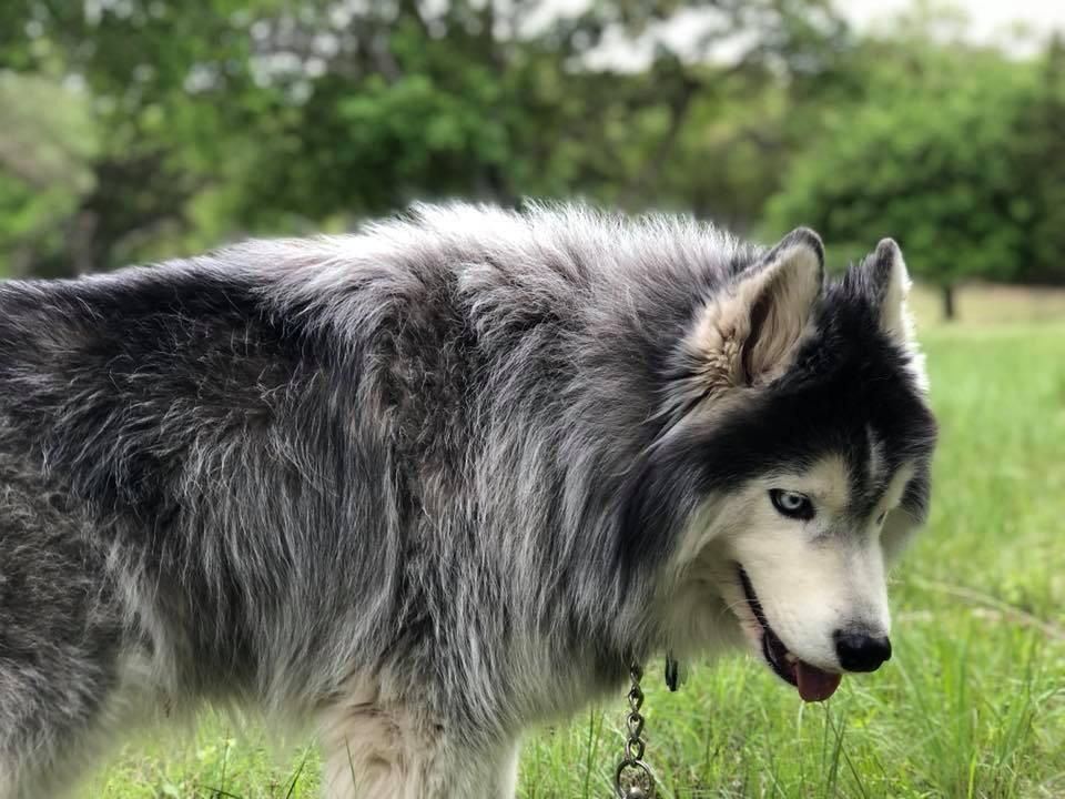 Welcome To Husky The Wooly Dog Lovers