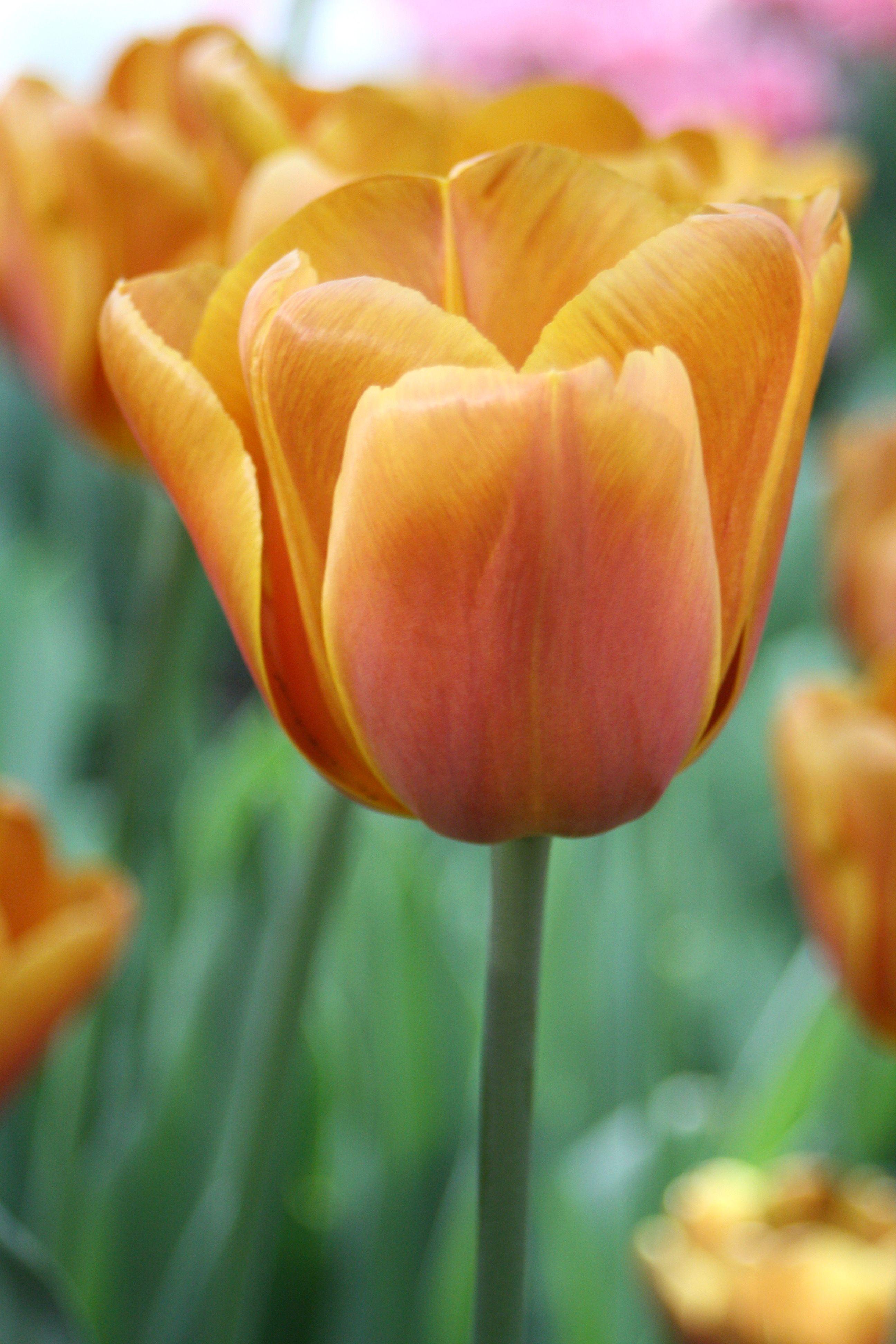 Coloriage Fleurs Bulbe.Sachet De 12 Tulipes Triomphe Brown Sugar Calibre 12 Jardin En