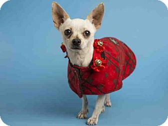 Pin by Marta Iturribarria on **ADOPTABLE Chihuahuas**   Pets