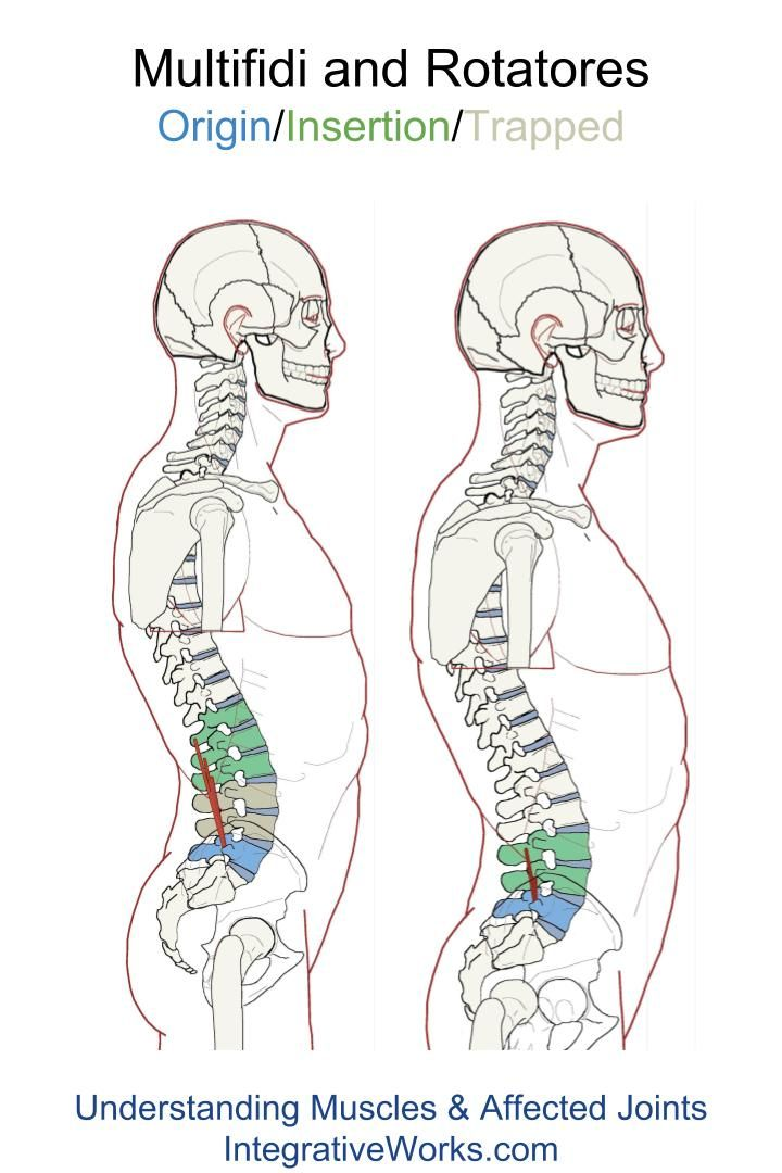 Rotatores and Multifidi – Functional Anatomy