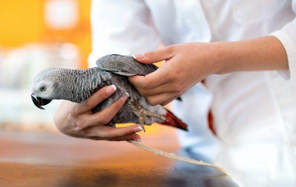 African grey parrots dissertation