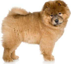 Morning Exercise Chow Chow Puppy Cute Baby Animals Fluffy Dogs