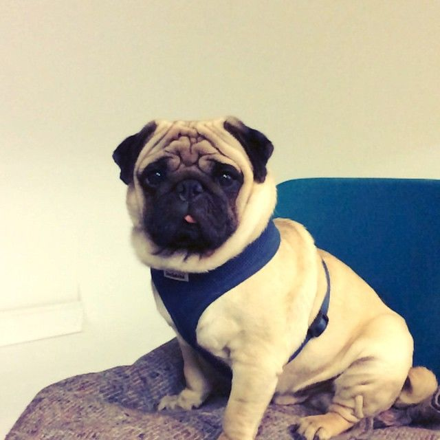 Slo Mo Photography Studio Pug With In Brighton Relaxing In The