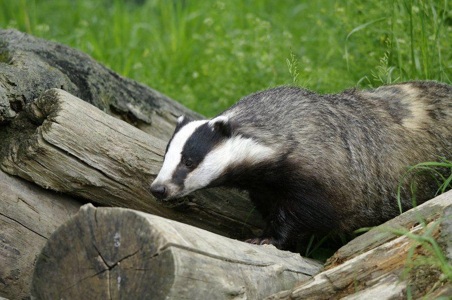 Badger badger badger badger   google wildlife  | badgers