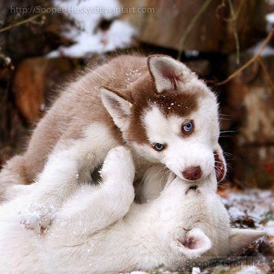 Discover Bold Siberian Huskies Puppy Size #siberianhuskyloversunite #huskey_q8 #siberianhuskyinformation