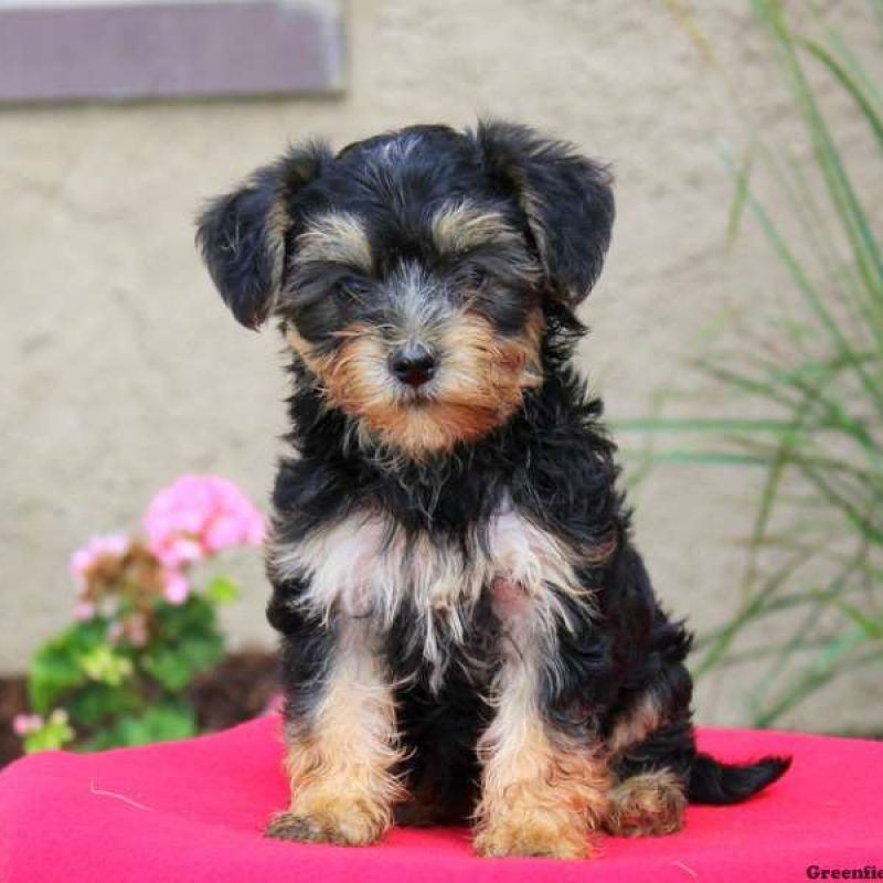 Yorkie Mix Puppies For Sale Yorkie Mix Breed Info