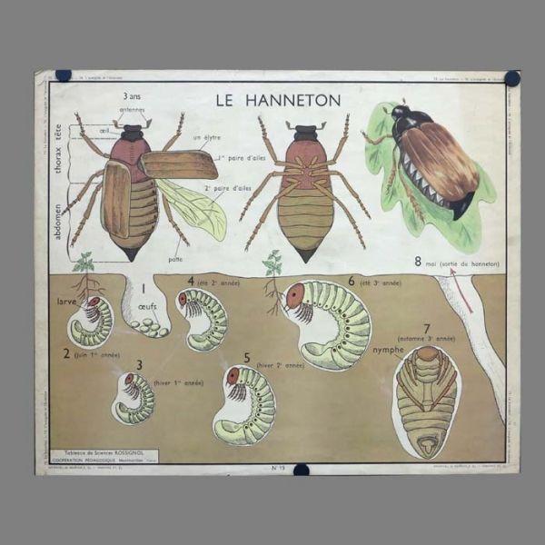 Cartel de escuela con anatomía animal. Francia 1950 - 1955 ...