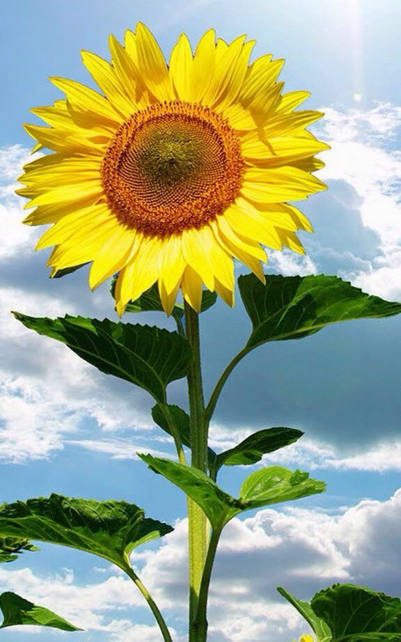 Twitter Flower Pictures Printable Flower Pictures Sunflower
