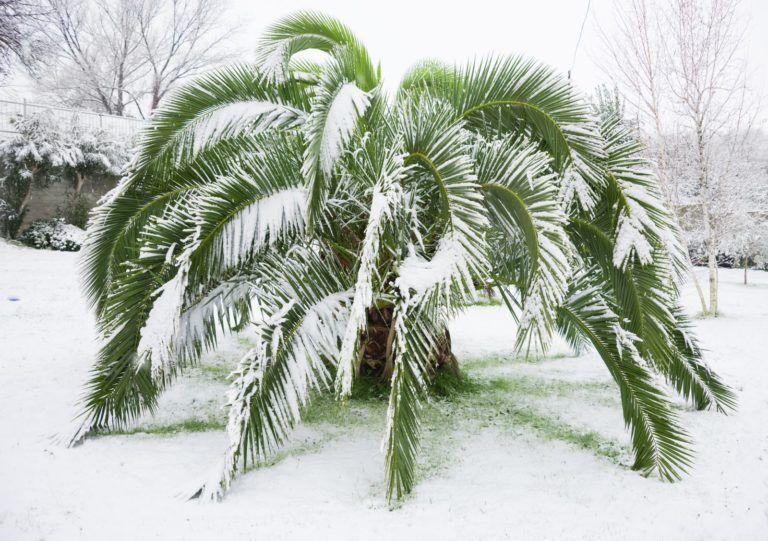 Winterharte Palmen Die Besten Arten Fur Den Garten Winterharte Palmen Cactus Plants Plant Leaves Garden