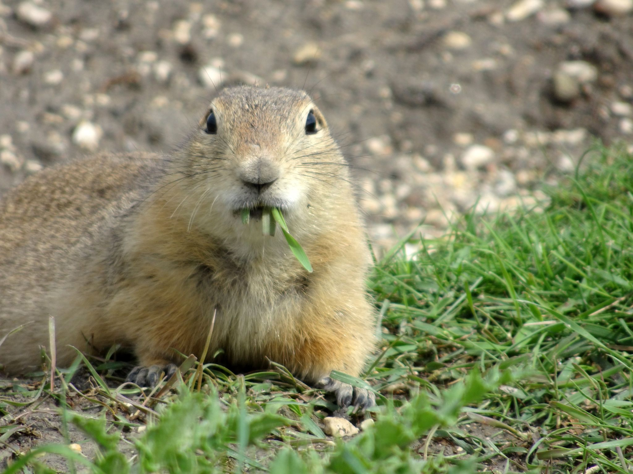 Richardson S Ground Squirrel On 9 06 03 34 Pm Edt
