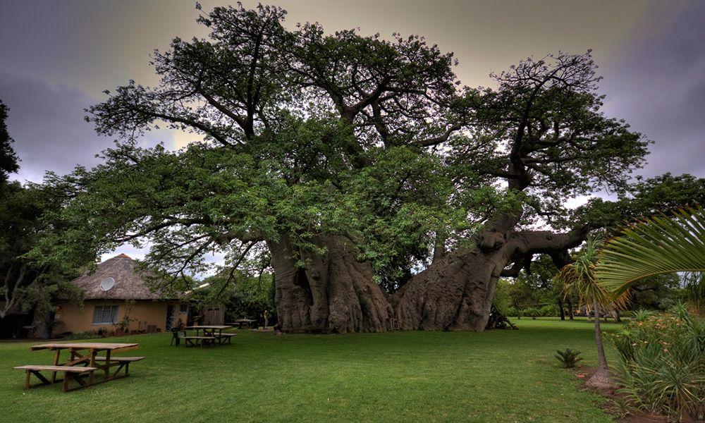 Você já foi em um bar que funciona no interior de uma árvore de 6 mil anos?