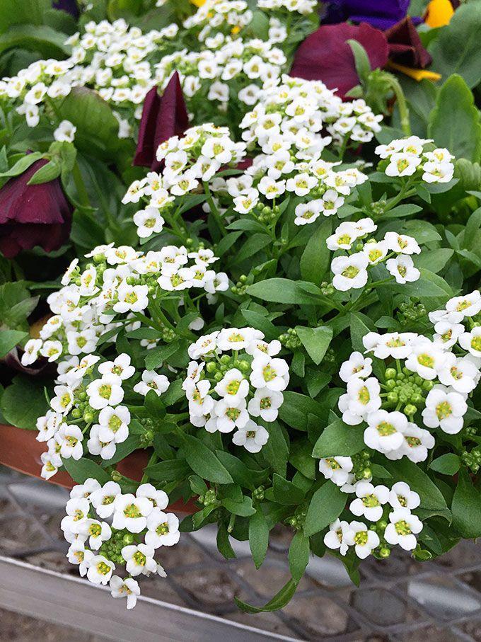Цветы алиссум : всё, что нужно знать о посадке, выращивании и уходе 50+ фото http://happymodern.ru/alyssum-foto/ Алиссум чувствует себя очень хорошо, даже под прямыми солнечными лучами