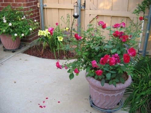 Pin By Judy Struck On Gardening Knockout Roses Knockout Roses Care Valentines Roses
