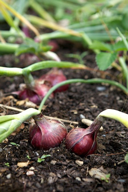Plant Onions In Sets of 3's