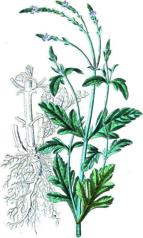 verbe_ilustr.jpg (465×773) | Verbena, Plantas, Plantas ...