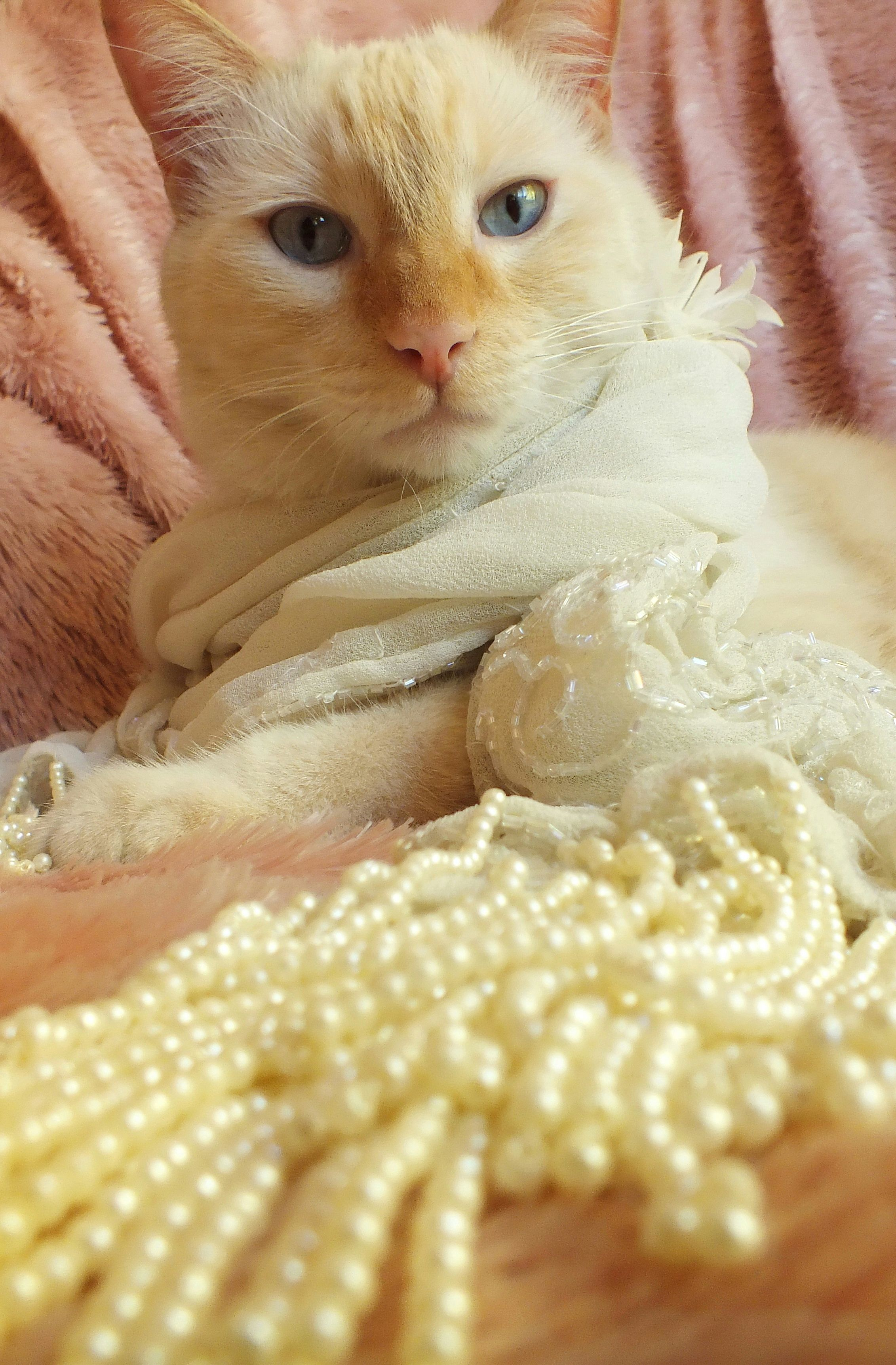Dean The Flame Point Siamese Wearing Beaded Pearl Scarf Outfit Costume Orange And White Cat With Big Blue Eyes Orange And White Cat Pet Fashion Gorgeous Cats