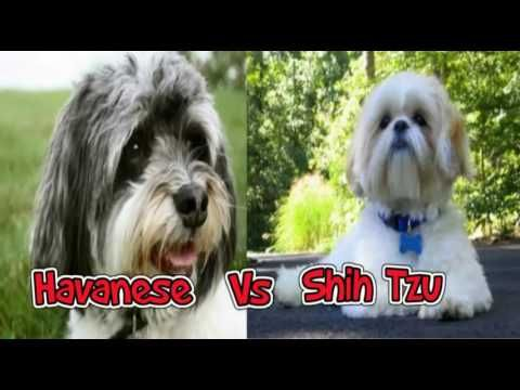 Havanese Dog Breed Vs Shih Tzu Dog Breed Top 10 Facts And Info