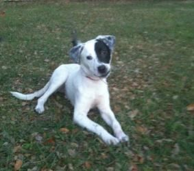 Adopt Bosco On Petfinder Whippet Puppies Puppy Mix Dalmatian Rescue