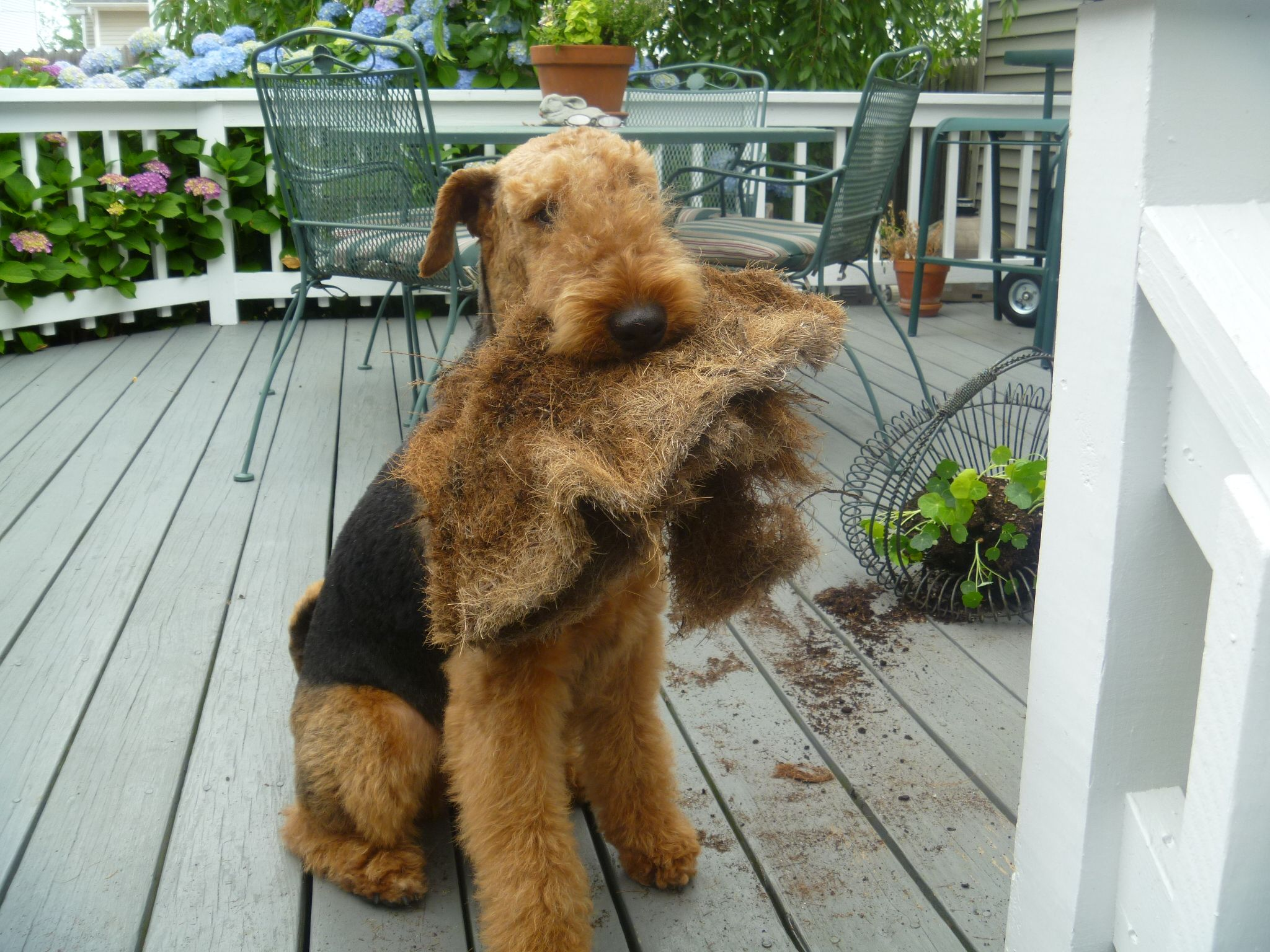 Augie Airedale Dogs Airedale Terrier Bad Dog