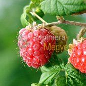 Vanzare Pomi Fructiferi Arbusti Fructiferi Zmeur Ciumbrud