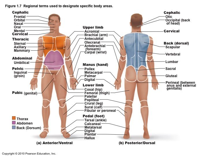 Regional Terms Anterior View Anatomical Terms Meaning Anatomy
