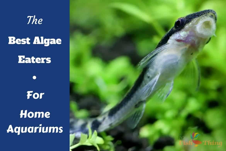 12 Best Algae Eaters For Home Aquariums Large And Small Breeding Betta Fish Home Aquarium Betta Fish