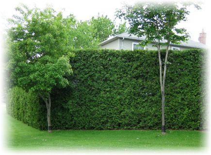 The Cedar Guys Cedar Hedge And Cedar Trees For Sale In