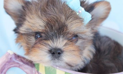 Teacup Yorkies For Sale With Images Yorkie Puppy Teacup Yorkie For Sale Teacup Puppies For Sale