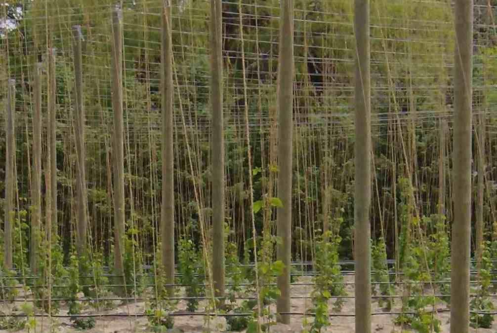 Brewers Of Utah Start A Hops Growing Co Op