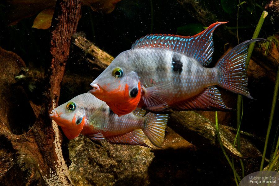 Colorful south american cichlids re new cichlid tank for Cichlid fish tank